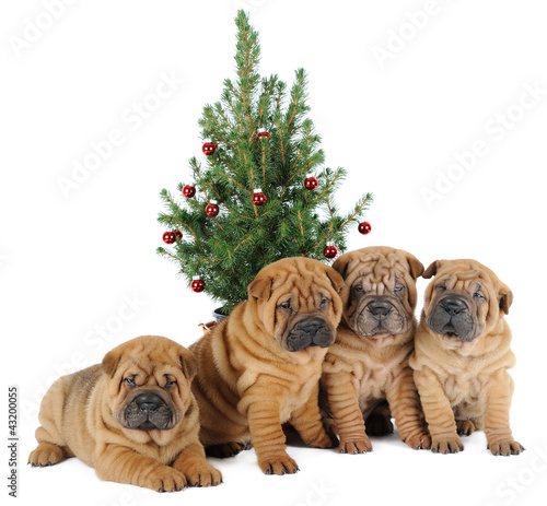 A group of four shar pei dogs under the christmas tree
