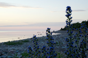 Peaceful coastline with closeup of blue flowers