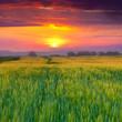 Wheat field at summer. Sunset