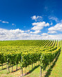 vineyard landscape with cloudy blue sky - 43207094