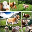 mucche collage