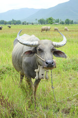 asia buffalo in country field of northern thailand
