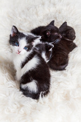 Young kitten staring curiously next to its siblings