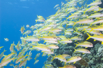 Shoal of goatfish on a tropical reef