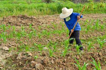 corn plant and farmer working in farm
