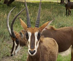 Gemsbok - Antelope Species