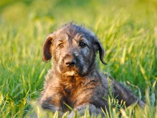Irish Wolfhound Puppy. Portrait