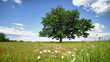 Lone oak tree on a summer meadow