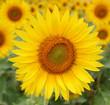 Fleur de tournesol dans un champ