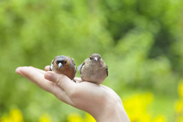 two injured birds on humans hand in the garden