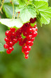 Ripe red currants