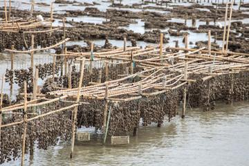 Oyster farming.