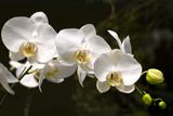 Fototapety Botanic garden Bogor, Orchid