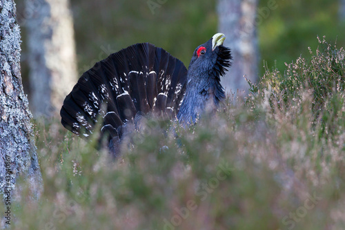 Capercaillie Tetrao urogallus adult male displaying