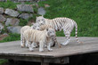 White Tigress With Cubs