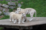 White Tigress With Cubs poster