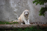 White Tiger Sitting Alone