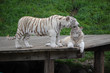 White Tigers Washing Each Other