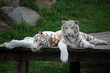 White Tigress Having Rest With Her Cub