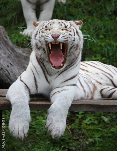 White Tigress Is Yawning