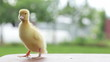 yellow duckling quacking, walking and flittering