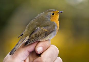 Robin bird sitting on the hand