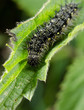 small tortoiseshell caterpillar focus on head