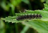 small tortoiseshell caterpillar, stinging nettle poster