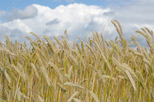 ripening wheat field, upcoming rain