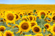Fototapeten,sommer,sonne,sonnenblume,froh