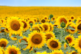 Fototapety Beautiful sunflower field