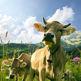 Fototapety Glückliche Kühe