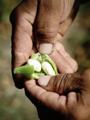 White bean in clove