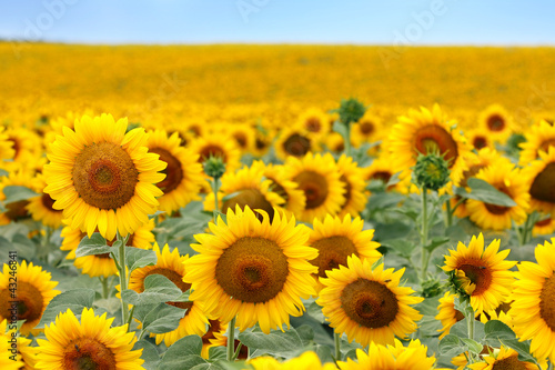 Staande foto Zonnebloem Beautiful sunflower field