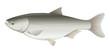 Silver Carp Freshwater Fish (Hypophthalmichthys molitrix)
