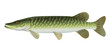 Northern Pike (Esox Lucius) Freshwater Fish.