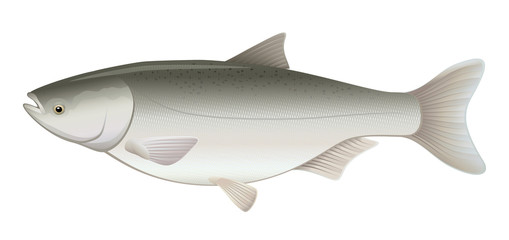 Silver Carp Freshwater Fish (Hypophthalmichthys molitrix)