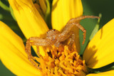 Crab Spider Waiting in Ambush on a Sunflower - Ontario, Canada poster