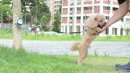 a poodle greets it owner warmly