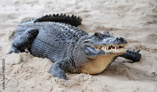 Alligator closeup on sand