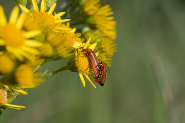 Mating Soldier beetles on the flower of Ragwort