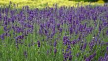 Lavendel (Lavandula)