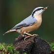 A Nuthatch on a peace of wood