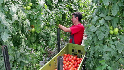 Harvesting Tomatoes in a Greenhouse