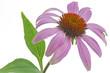 Sonnenhut (Echinacea) auf weißem Hintergrund