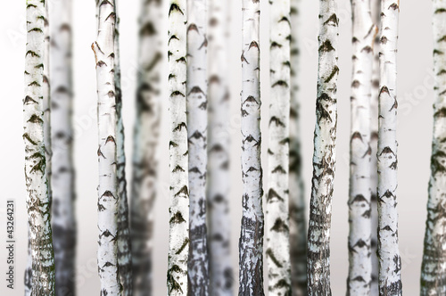 Fotobehang Berkenbos natural background - birch - wallpaper
