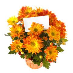 Chrysanthemum in a pot