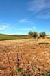 Alberello di Olive