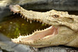 Albino crocodile