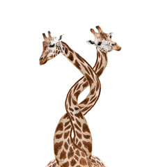 Two bounded giraffes, isolated on white background